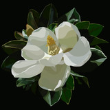 painted large blossomed white magnolia flower on a black background - 210312023