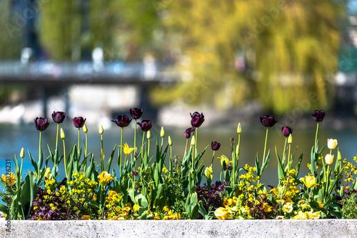 Tulip Flowers in Geneva, Switzerland