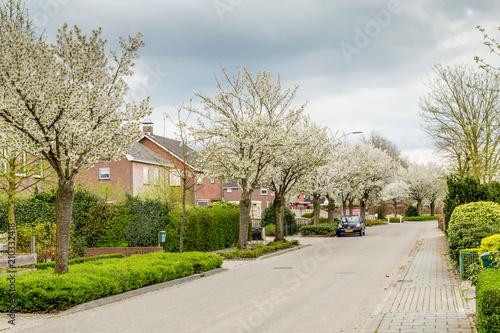 Fototapeta Blooming trees in the streets during spring in Eck en Wiel, Gelderland, Netherlands