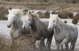 Beautiful White Horses of Camargue France - 210339448