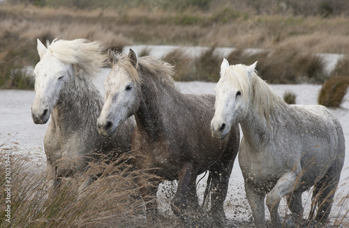 Fotobehang Paarden Beautiful White Horses of Camargue France