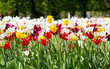 flowerbed with tulips in spring