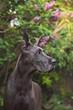 Great Dane in Springtime