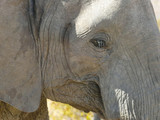 African Elephant in the Mapungubwe National Park