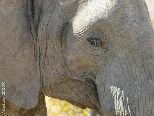 Fototapeta African Elephant in the Mapungubwe National Park