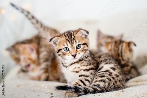 Fotobehang Kat Bengalische Kätzchen