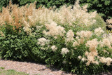 General view of group of flowering plants of Aruncus dioicus or goat's beard in garden - 210377293