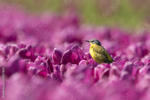 Closeup of a male western yellow wagtail bird (Motacilla flava) singing