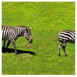 two zebra eating grass near a dead tree