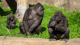 Family of gorillas in a park