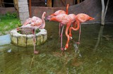 Pink flamingo birds in Costa Maya, Mexico