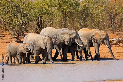 Fototapeta African elephants (Loxodonta africana) at a waterhole, Kruger National Park, South Africa.