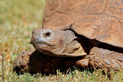 Fototapeta Close-up of a leopard tortoise (Stigmochelys pardalis) peeking from its shell, South Africa.