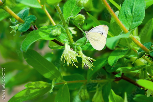 Plexiglas Groene White delicate shrub flowers honeysuckle close - up in spring on the background of branches with green leaves