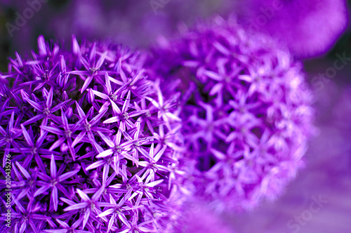 Purple flowers of allium with blurred background, close up, color of the year - 210435276