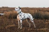 Dalmatian (salt marshes sunset)