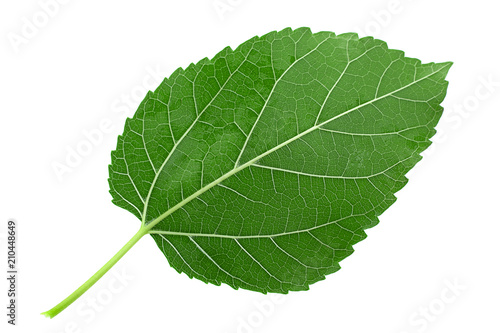 Mulberry leaf isolated - 210448649