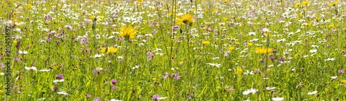 Aluminium Lente many flowers at meadow in springtime