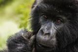 gorila - 210468287