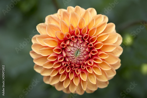 Abstract closeup macro of orange dahlia flower with pretty petals