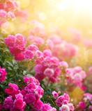 Spring or summer floral background; pink rose flower against the sunset sky - 210474228