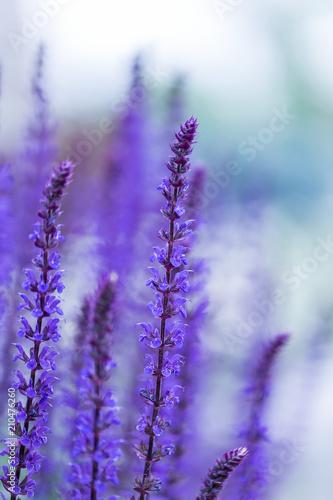 lavender © DL