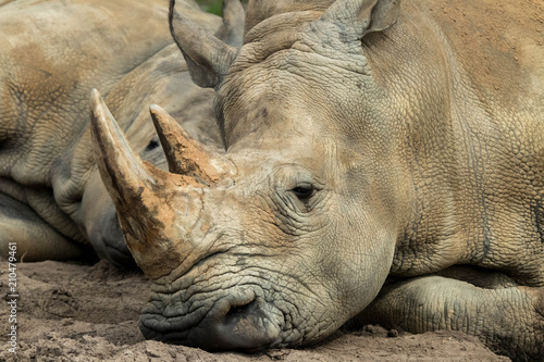 Plexiglas Neushoorn Close up rhino