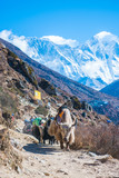 yak and buffalo carry baggage and appliances on the mountain