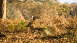 Deer sitting in autumn foliage at sunrise in Richmond Park, London
