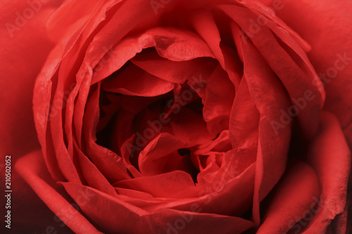 Fotobehang Rood traf. Flower Rose red. Macro. View from above. Floral background. Nature.