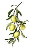 Olive branch illustration vintage clip art isolate on white background
