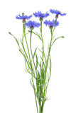 Bouquet of blue cornflowers over white background