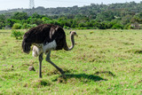 Ostrich walking, game park, South Africa - 210525063