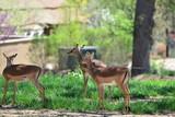 young deer in a zoo - 210525681
