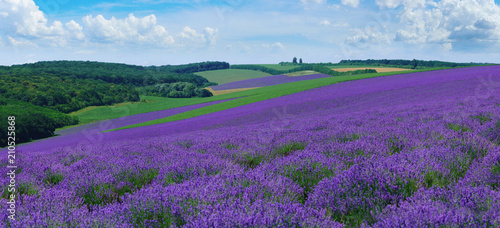 Panorama of summer hills landscape with blooming lavender fields.