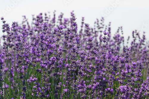 Lavender flowers at sunlight with light background.