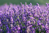 Beautiful violet lavender flowers on lavender field. - 210526230