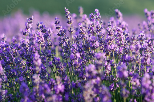 Plexiglas Lavendel Beautiful violet lavender flowers on lavender field.