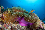 Coral reef with anemone and clownfish in Palau, Micronesia