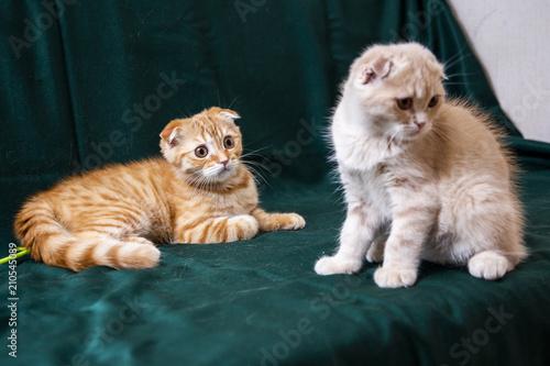 Fotobehang Kat Red Scottish Kitten