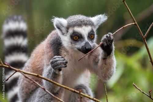 Aluminium Aap Adult lemur katta eats young tree branches