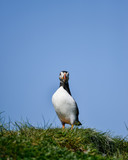 Colorful Atlantic Puffin or Comon Puffin Fratercula Arctica in Northumberland England on bright Spring day - 210580422