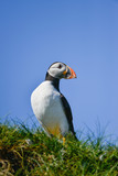 Colorful Atlantic Puffin or Comon Puffin Fratercula Arctica in Northumberland England on bright Spring day - 210580445