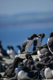 Beautiful Common Guillemot on cliff face on bright Spring day - 210580494
