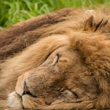 Beautiful close up portrait of white Barbary Atlas Lion Panthera Leo - 210580896