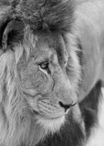Beautiful intimate portrait image of King of the Jungle Barbary Atlas Lion Panthera Leo in black and white - 210581008