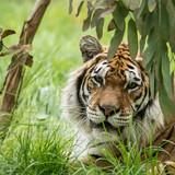 Beautiful portrait of tiger Panthera Tigris walking through long grass in vibrant landscape - 210581041