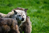 Beautiful Timber Wolf Cnis Lupus stalking and eating in forest clearing landscape setting - 210581057