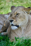 Close up portrait of female African Lion Panthera Leo Leo in Summer sun - 210581081