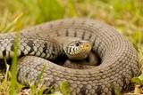 Couleuvre - Serpent dans l'herbe - 210581462